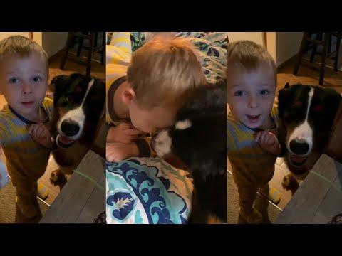 Bernese Mountain Dog Meets Toddler