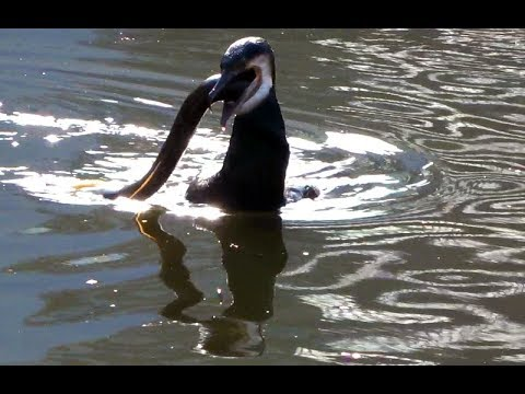 Cormorant versus eel - the battle of Camden Lock, in front of a live Wetherspoons audience.