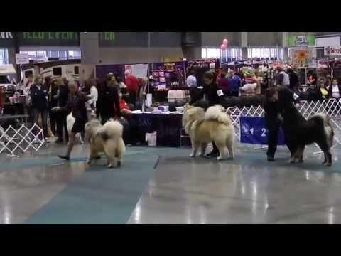 Best Of Breed, Tibetan Mastiff, Seattle KC Dog Show, 3-8-15