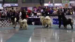 best of breed tibetan mastiff seattle kc dog show 3 8 15