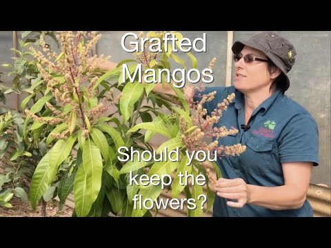 Grafted Mango Fruit Tree Advice: Should I cut off the flowers in Spring?