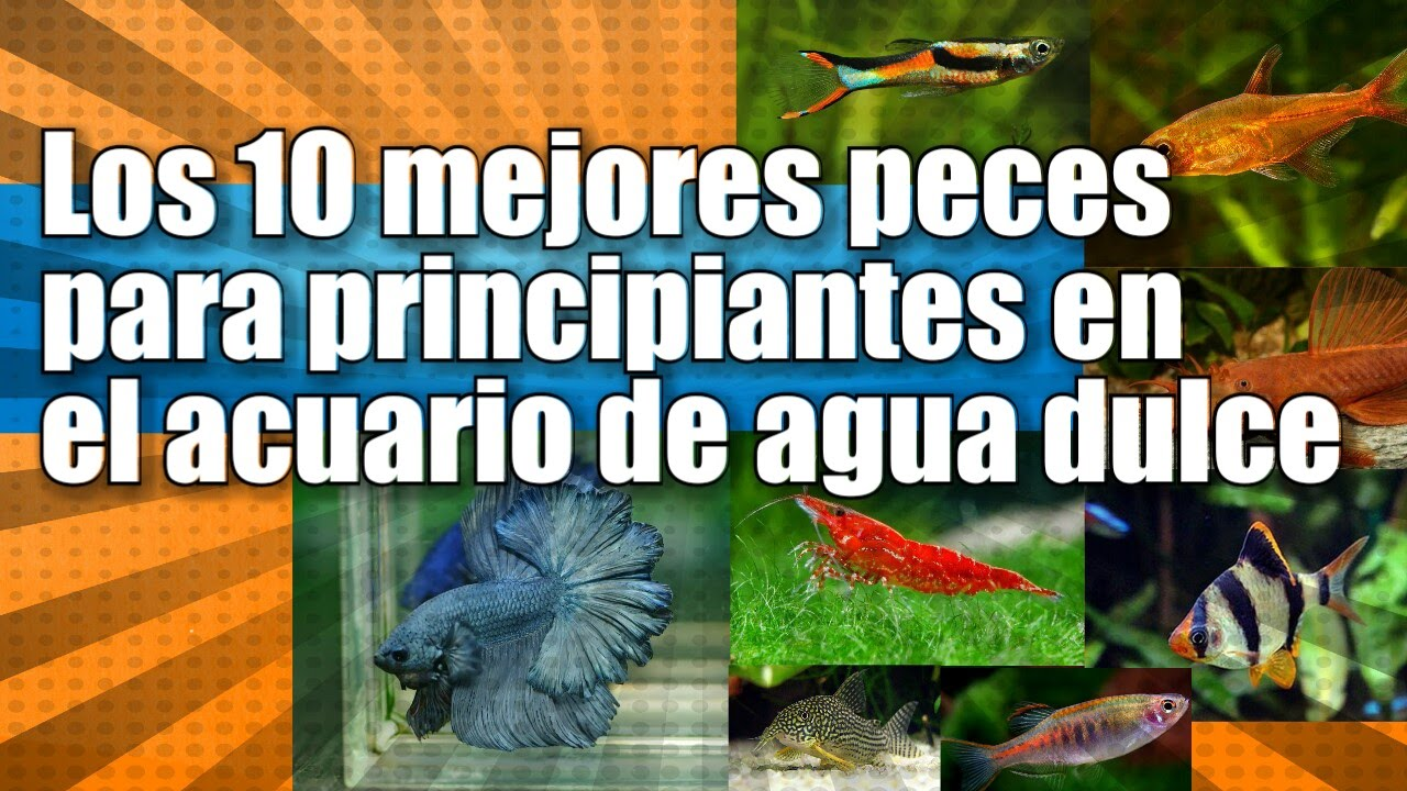 Top 10 tropical fish for beginners youtube for Peces de agua dulce para peceras