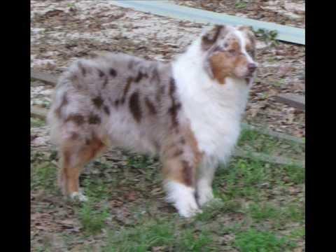 Australian Shepherd - Red merle female 'Paris'