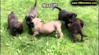 Mastiff, Welpen, Für, Verkauf, In, Berlin, Deutschland, Hamburg, München, Köln
