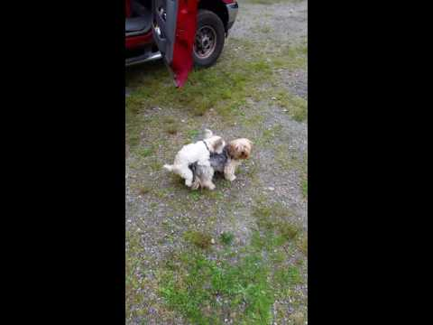 Little dog mating.
