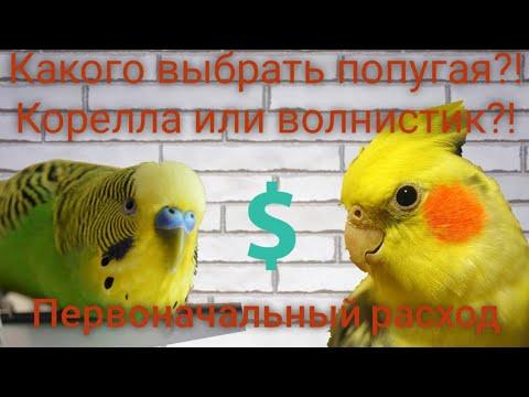 Вопрос: Как выбрать попугая кореллу?