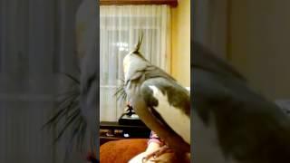 Попугай корелла разговаривает с человеком на ровне. Говорящий попугай. Прикол