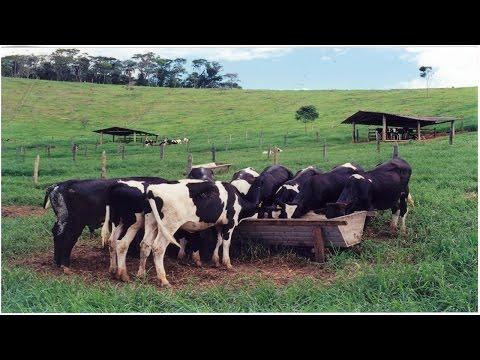 Inseminação Artificial em Bovinos - Identificando Vaca no Cio