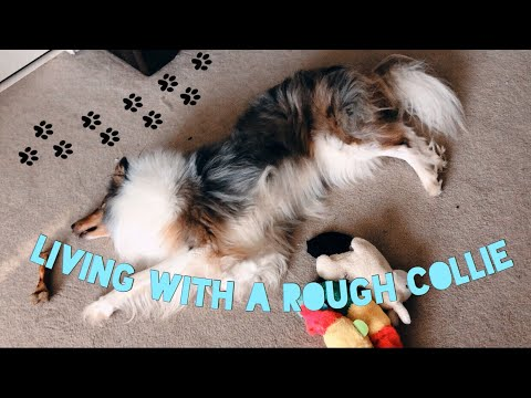 A day in a life living with Rough Collies