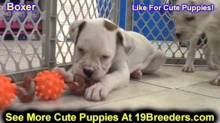 Boxer, Puppies, For, Sale In Toronto, Canada, Cities, Montreal, Vancouver, Calgary