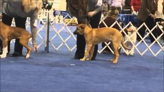 First AKC Puppy Show