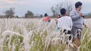 JANWAWA :: Snow Grassland, Songkhla 雪花大草原(宋卡府) สวนดอกหญ้า