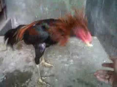 Melatih Ayam Aduan 5 5 Bln Youtube