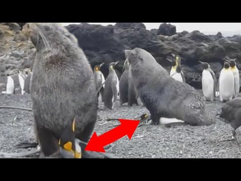 Seals are penetrating penguins in Antarctica; Giant squid captured in Antarctic ocean - Compilation