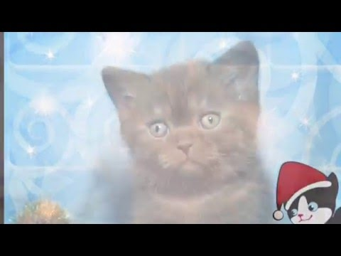 Британские котята. Купить плюшевого котенка