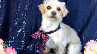 Cairn-terrier-blend-pinky-adoptable-ken-mar-rescue-5-3-12
