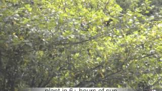 Crataegus viridis Winter King Hawthorn