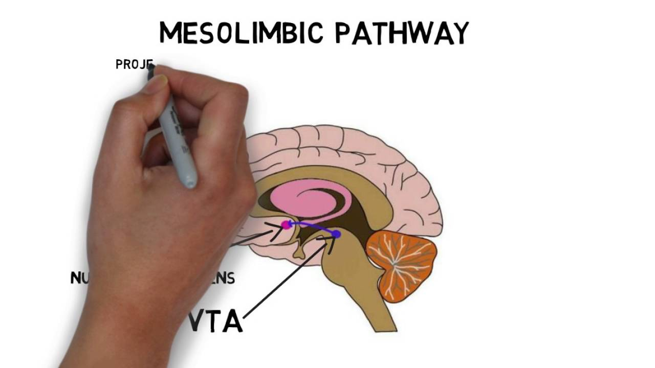2-Minute Neuroscience: Ventral Tegmental Area (VTA) - YouTube