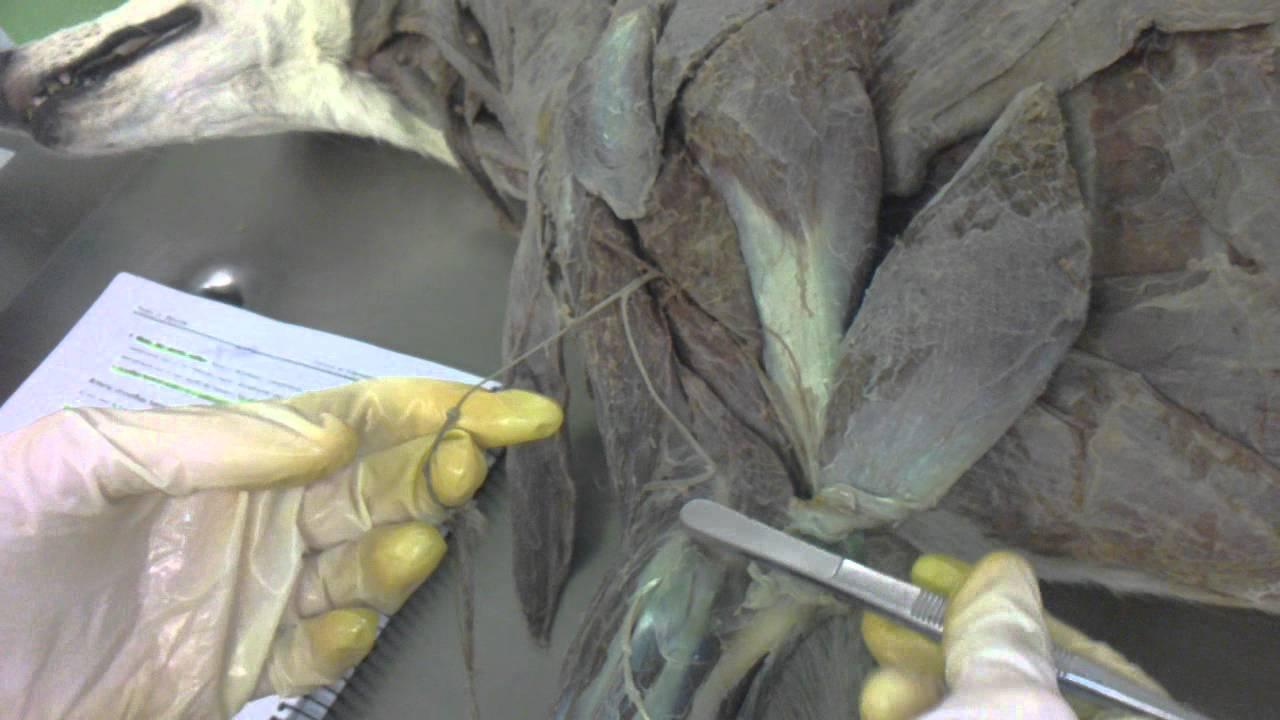 anatomia practica 2 de musculos: veterinaria leon - YouTube