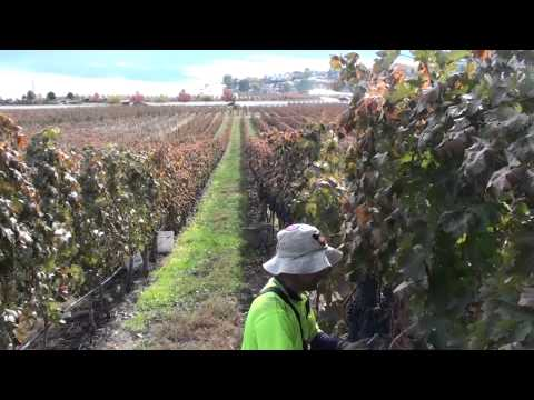 FAST PICKING GRAPES CANADA