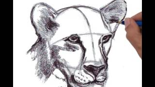 Female Lion head, perspective view