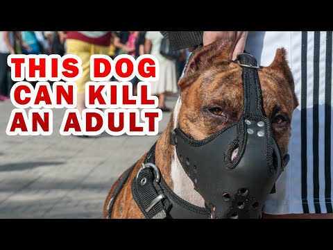 What will happen if one of these dogs attacks you? Top 5 dangerous dogs breed in the world