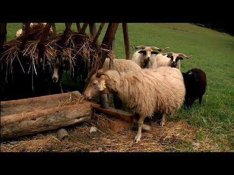 519cdf70f94 VALAŠKA – ovca