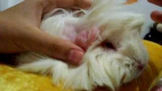Guinea Pigs: How to Give Ivermectin Topically for Mites