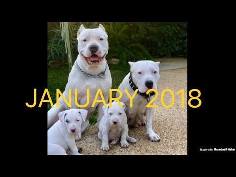 White Pitbull Puppy's For Sale 2018 LA Area