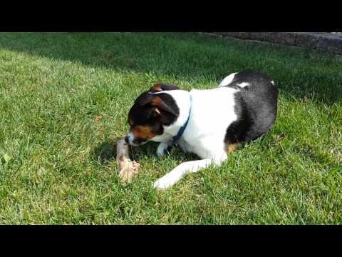 Dog gets a Bone