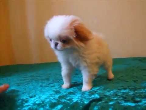 Japanese Chin-puppy boy, color white-red (lemon)