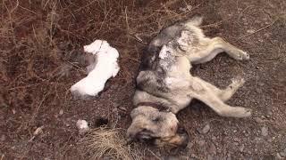 Труп домашней собаки с красным дротиком. Улан-Удэ
