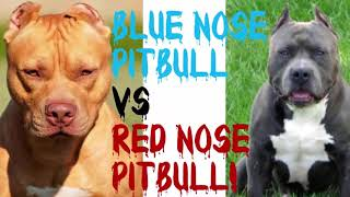 15 Interesting Facts About Blue Nose Pitbull