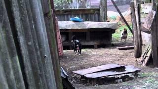 Собака насилует коз :)