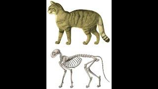 british shorthair cat breed information breed profile #cat