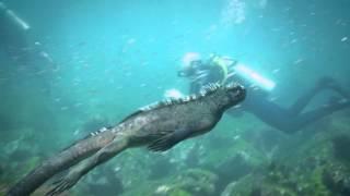 海のなかを颯爽と泳ぐ、ウミイグアナがゴジラっぽくてかっこいいぞ!