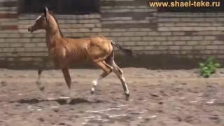 Ezis Shael (Sayvan - Ezize), akhalteke horse, ахалтекинская лошадь.