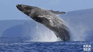 САМОЕ БОЛЬШОЕ животное на Земле!!!ОНИ ПРОСТО ГИГАНТЫ!!!