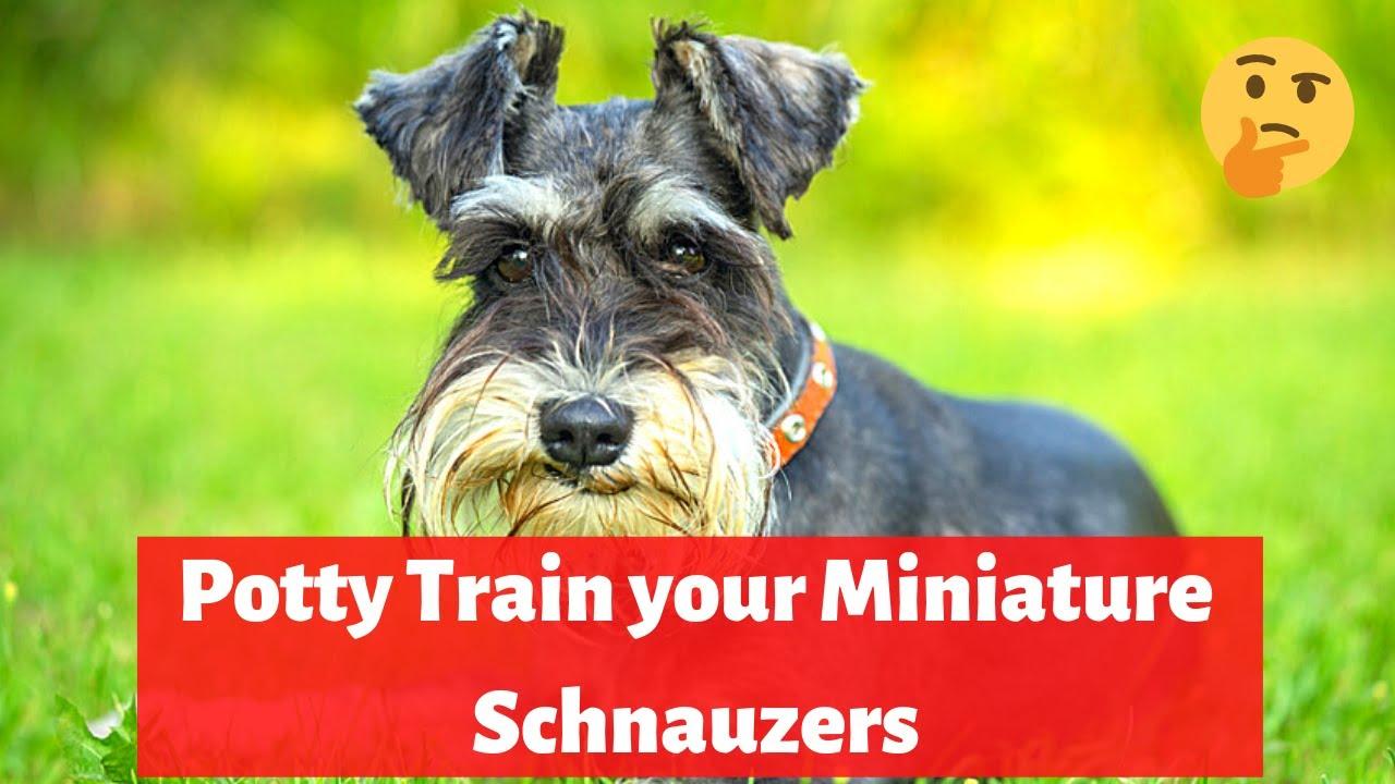 Easily Potty Train Miniature Schnauzers