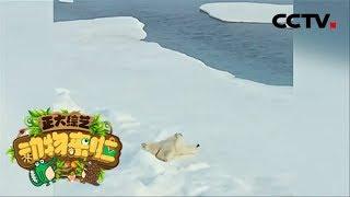 [正大综艺·动物来啦]北极熊蹭冰的主要原因是为了| CCTV