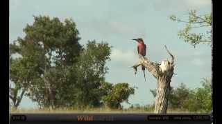 Jan 26 WildEarth Safari AM Drive: Carmine Bee Eater