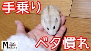 ジャンガリアンハムスターを手乗り&ベタ慣れにする方法!4ステップで簡単!懐くと可愛い癒しおもしろ動物How to make Hamster to ride in your hand