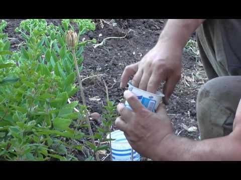 Как собрать  семена тюльпанов