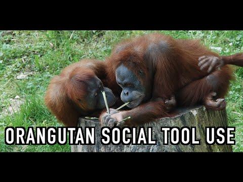 Using Children as Tools: Orangutan Style!