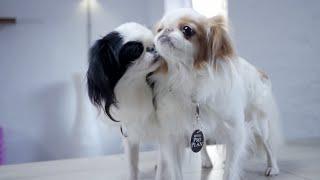 Японский Хин ➠ Узнайте все о породе собаки
