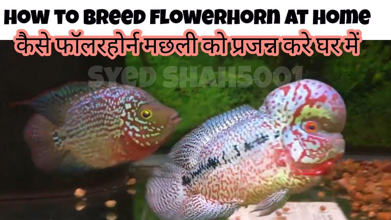 Flowerhorn fish_ how to breed flowerhorn & basic info Hindi\\Urdu ...