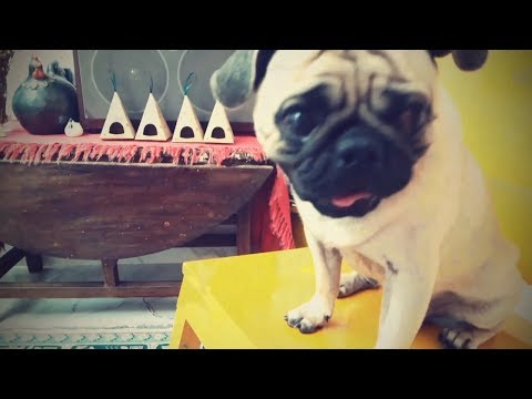 moments of love for pug dogs - pug dogs cute funny - SuBin#32