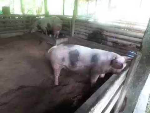 Pigs @organic farm Bohol