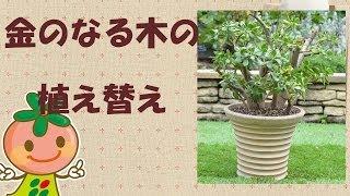 【ガーデニング】金のなる木植え替え【花ごころ】 thumbnail