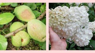 Кустарники на даче в августе./Моя Любимая Дача!//Айва японская радует плодами. Спирея. Гортензии.